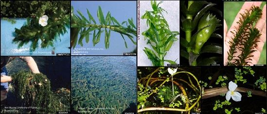 Click to be brought to information page on Brazilian Elodea. Brought to you by Midwest Invasive Species Information Network.